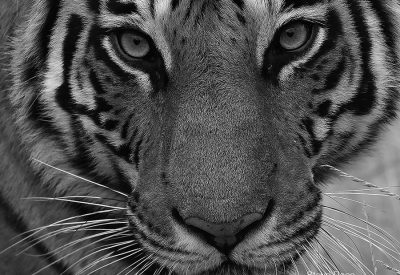 Tiger's face in black & white